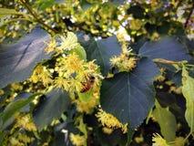 Honey Bee que poliniza y que recoge el néctar en un flor del árbol de tilo en primer del jardín del verano Imágenes de archivo libres de regalías