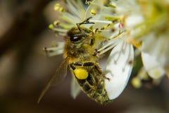 Honey Bee que recoge el néctar de una flor blanca Imágenes de archivo libres de regalías