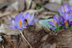 Honey Bee que recoge el néctar y el polen en azafrán florecen Imagen de archivo