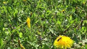 Honey Bee que recoge el polen de la flor almacen de metraje de vídeo