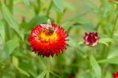 Honey Bee que recoge el polen de las flores Fotografía de archivo libre de regalías