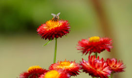 Honey Bee que recoge el polen de las flores Foto de archivo libre de regalías