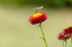 Honey Bee que recoge el polen de las flores Fotos de archivo