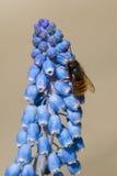Honey Bee que recoge el polen de las flores Imágenes de archivo libres de regalías