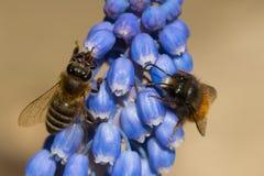 Honey Bee que recoge el polen de las flores Imagen de archivo