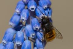 Honey Bee que recoge el polen de las flores Imagen de archivo libre de regalías