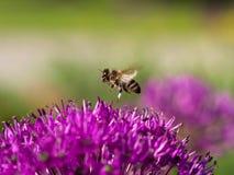 Honey Bee que recoge el polen de una flor Imagen de archivo libre de regalías
