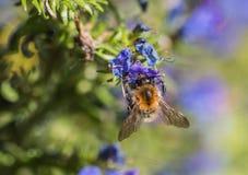 Honey Bee que recoge el polen de una flor Fotos de archivo libres de regalías