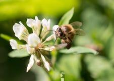 Honey Bee que recoge el polen de una flor Foto de archivo libre de regalías