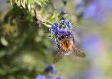 Honey Bee que recoge el polen de una flor Imagen de archivo
