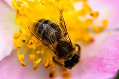 Honey Bee que recoge el polen en cierre de la flor de la rosa del rosa para arriba Imagenes de archivo