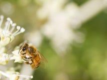 Honey Bee que recoge el polen en fondo borroso del bokeh Foto de archivo libre de regalías