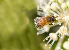 Honey Bee que recoge el polen en fondo borroso del bokeh Imagen de archivo
