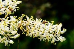 Honey Bee que recoge el polen en la flor de Grevillia del claro de luna - Aust Fotografía de archivo libre de regalías