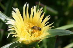 Honey Bee que recoge el polen en planta de hielo Imagen de archivo libre de regalías