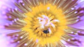 Honey Bee que recolecta el polen en la flor de loto almacen de video