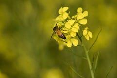 Honey Bee que recolhe o fundo amarelo da flor do mel somente foto de stock royalty free