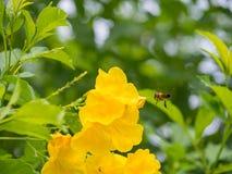 Honey Bee que vuela a la flor amarilla Imágenes de archivo libres de regalías