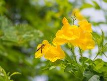 Honey Bee que vuela a la flor amarilla Imagen de archivo libre de regalías