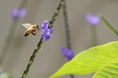 Honey Bee que vuela para florecer Imagen de archivo