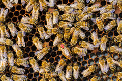 Honey Bee Queen Stock Photography