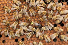 Honey bee queen Stock Image