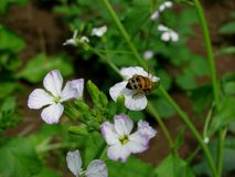 Honey Bee on Radish Blooms  Royalty Free Stock Photos