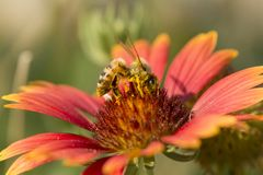 Honey bee on red flower, close up macro. At garden Royalty Free Stock Photos