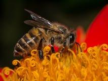 Honey bee on red flower Stock Photo