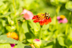 Honey bee on red orange yellow flower left side dominate late summer with pollen sacs on legs-3458. Medium crop view Royalty Free Stock Photos