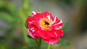 A honey bee and a red rose Stock Photography