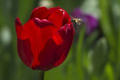 Honey bee and Red tulip. Red tulip with a bee Royalty Free Stock Photography