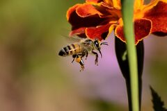 Honey Bee on Red and Yellow Flower during Daytime Stock Image
