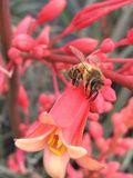 Honey bee on red yucca. Honey bee pollinating a red yucca bloom Stock Photos