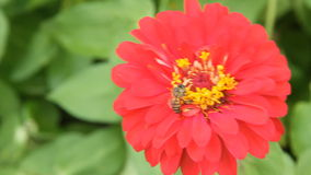 Honey bee in a red zinnia flower stock footage