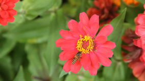 Honey bee in a red zinnia flower Royalty Free Stock Photos