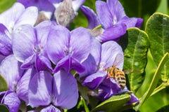 Honey Bee Resting en un laurel de montaña púrpura Fotografía de archivo libre de regalías