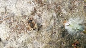 Honey Bee resting on nature stone royalty free stock images