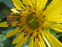 Honey Bee Rich con el saco del polen Fotografía de archivo