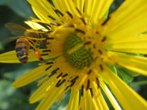 Honey Bee Rich with Pollen Sac Stock Photography