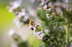 Honey Bee On Rosemary Bush Photo libre de droits