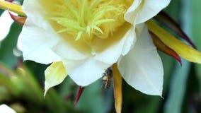 Honey Bee`s Pollen. Honey bee with pollen on the feet flying in dragon fruit flowers stock video footage