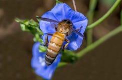 Honey Bee sammanträde på en blå blomma Arkivfoto