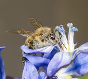 Honey Bee on Scilla Sibirica Royalty Free Stock Images