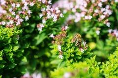 Honey Bee se encaramó en una flor que recogía el polen, abeja macra en la flor Fotos de archivo