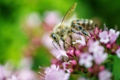 Honey Bee se encaramó en una flor que recogía el polen, abeja macra en la flor Foto de archivo