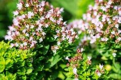 Honey Bee se encaramó en una flor que recogía el polen, abeja macra en la flor Fotos de archivo libres de regalías