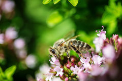 Honey Bee se encaramó en una flor que recogía el polen, abeja macra en la flor Imagenes de archivo