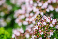 Honey Bee se encaramó en una flor que recogía el polen, abeja macra en la flor Fotografía de archivo libre de regalías
