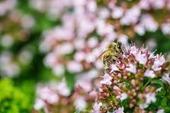 Honey Bee se encaramó en una flor que recogía el polen, abeja macra en la flor Fotografía de archivo libre de regalías